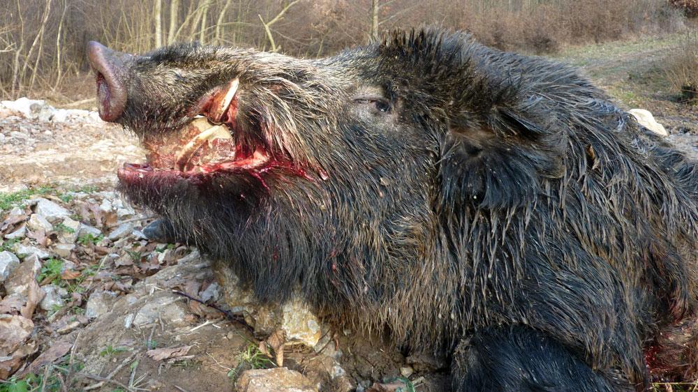 RR Weltweites Jagen | Saudrückjagd