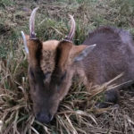 RR Weltweites Jagen | Der Muntjak