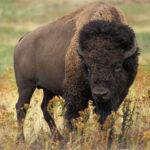 RR weltweites jagen | Bison