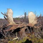 RR weltweites jagen | Elch