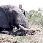 RR weltweites jagen | Elefant