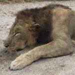RR weltweites jagen | Loewe