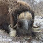 RR weltweites jagen | Moschusochse