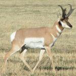 RR weltweites jagen | Pronghorn