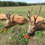 RR weltweites jagen | sibirischer Rehbock