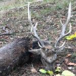 RR weltweites jagen | Sikahirsch