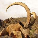 RR weltweites jagen | Steinbock