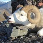 RR weltweites jagen | Wildschaf