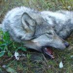 RR weltweites jagen | Wolf
